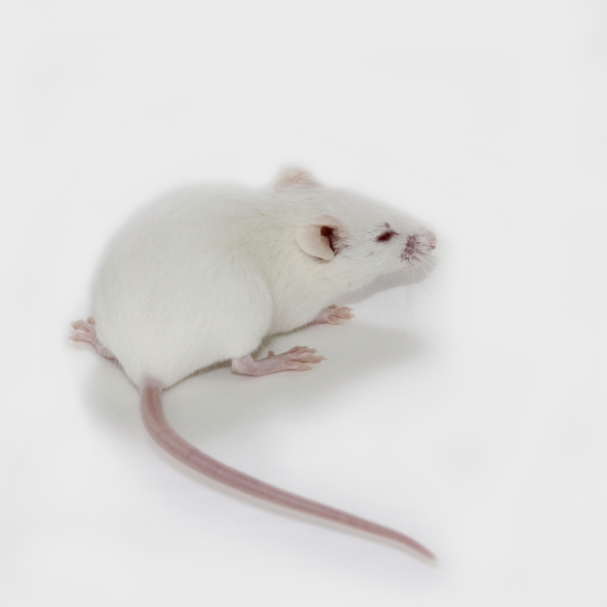 lab mouse pictures - HD1200×1200
